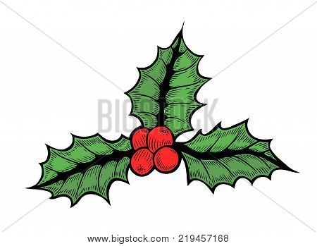 Hand drawn Colored Holly or Ilex aquifolium or Christmas holly, retro vintage engraving illustration plant with berryes. New year decoration. Leaves and fruit isolated on a white background.