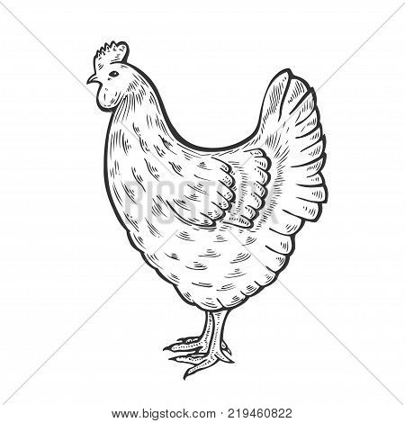 Hand drawn Chicken, hen bird, poultry, vector illustration sketch, farm feathered bird animal. Engraving isolated on white background, sketch, hand drawn retro vintage style. isolated on white
