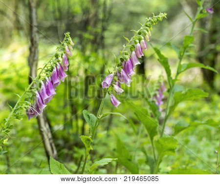 common foxglove flowers in natural vegetation ambiance