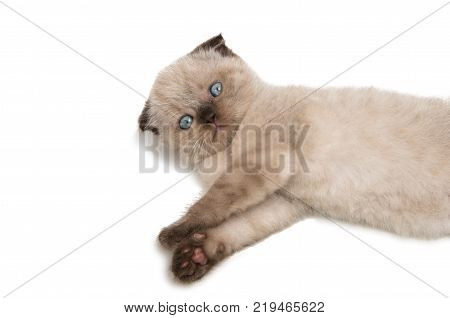 lop-eared scottish kitten isolated on white background