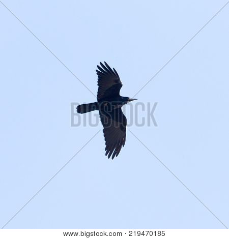black crow in flight . In the park in nature