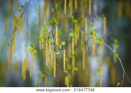 spring birch branches on blur background close up
