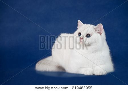 British white shorthair young cat with magic Blue eyes, britain kitten lying on blue background with reflection, copy space for text.