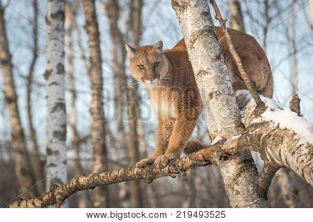 Adult Female Cougar (Puma concolor) Sits in Tree - captive animal