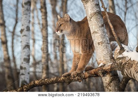 Adult Female Cougar (Puma concolor) Looks Left From Tree - captive animal