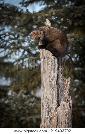 Fisher (Martes pennanti) Stares Out from Tree - captive animal