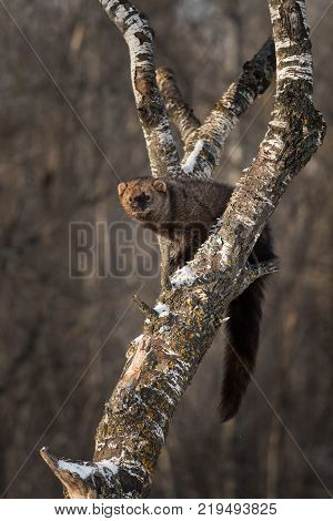 Fisher (Martes pennanti) Sits Comfortably in Tree - captive animal