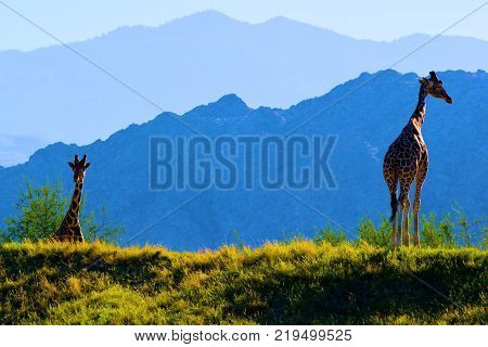 December 18, 2017 in Palm Desert, CA:  Giraffes roaming a plain taken at the Living Desert Zoo in Palm Desert, CA where people can view exotic plants and animals native to desert regions