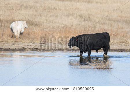 A Black Angus bull in a pond in Kansas