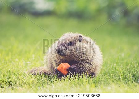 Young Groundhog (Marmota Monax) holding a half-eaten carrot  in the green grass at springtime