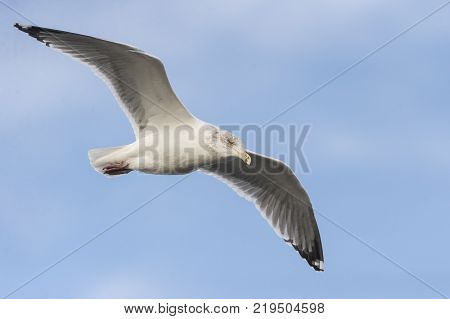 Herring Gull intent on scanning water for food