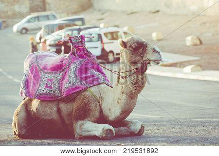 Dromedary for tourist in Agadir in Morocco.