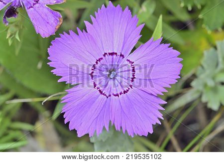 A close up of the flower wild pink (Dianthus chinensis).