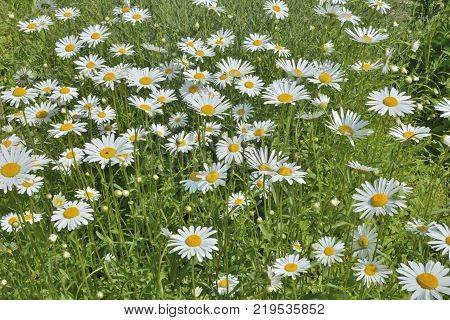 A close up of the chamomile flowers.