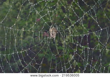 A close up of the spider (doe) on spider-web with raindrops.