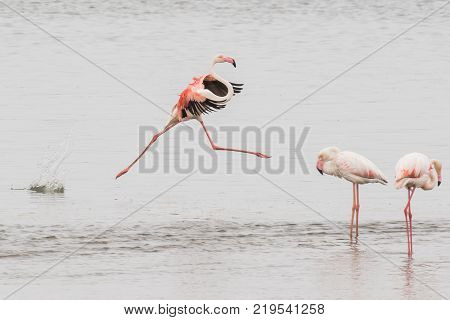 Adult greater flamingo performing a grand jete at Walvis Bay Lagoon, Namibia