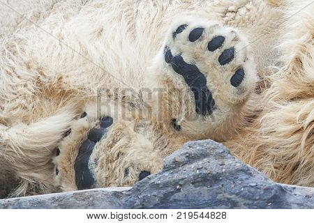 Close-up of black foots of sleeping polarbear in zoo Prague
