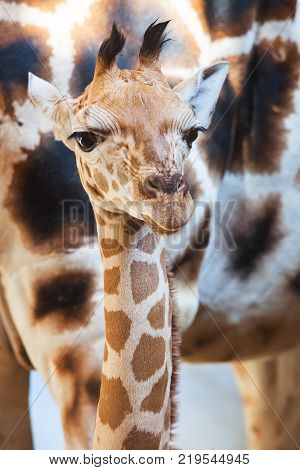 Portrait of a Giraffe, Giraffa camelopardalis, in the Amakhala Game Reserve, Eastern Cape, South Africa.