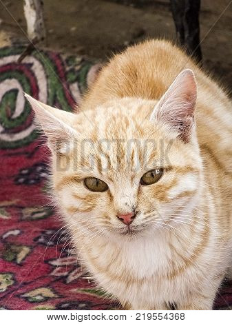 yellow hairy cat, the most beautiful yellow hairy cat eyes, closely the cat eyes,