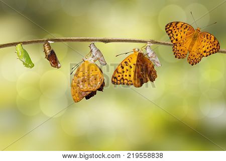 Transformation From Chrysalis Of Common Leopard Butterfly ( Phalanta ) Hanging On Twig