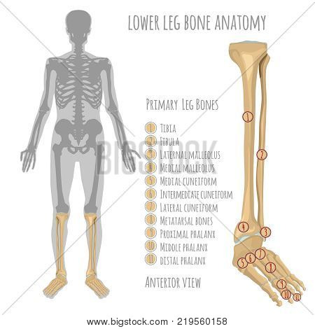 Lower Leg Bone Anatomy. Anterior View With Primary Bones Names. Vector Illustration With Human Skele