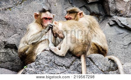 Monkey picking lice from another monkey, Nature, Animals, Family