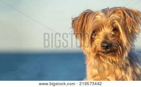deep look dog portrait blurred blue background with copy space at one side, . Doggy hairy ear, nose and snout, cute animal, Yorkshire Terrier brown.