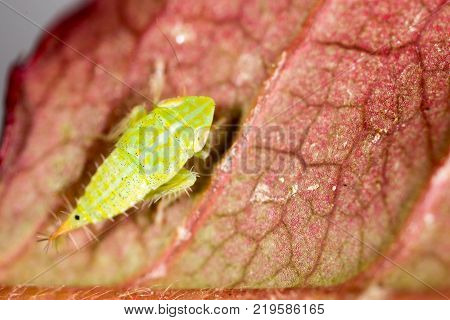 Green aphids on a leaf. macro . In the park in nature