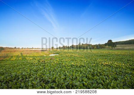 Common water hyacinth in Dok Krai Reservoir Rayong Thailand.