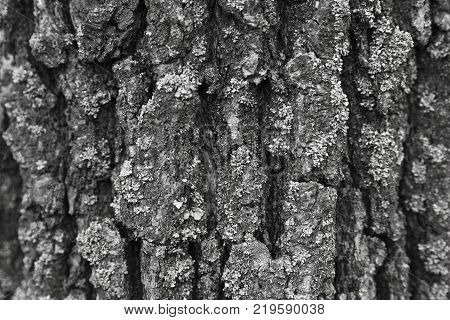 Texture is pure the bark of a tree
