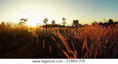 Desho grass Pennisetum pedicellatum at sunset time. Beautiful grass flower. background grass flower and orange light floral backgroundpanorama grass during sunset.