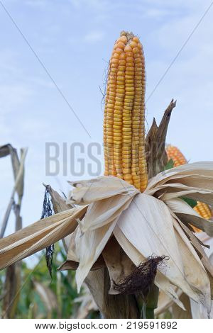 Corn pods on dried plants Waiting for harvestCorn crops on dried corn trees is prompt to harvest.
