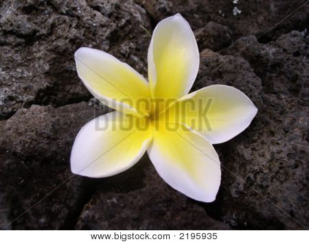 Plumeria On Lava Rock