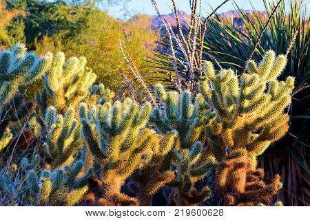 Cholla Cacti native to the Southwestern Desert Region taken in a garden