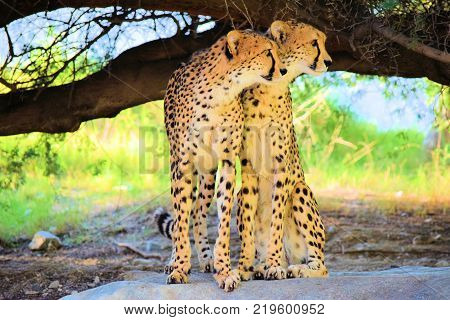 December 18, 2017 in Palm Desert, CA:  Cheetahs standing on a rock under a tree taken at the Living Desert Zoo in Palm Desert, CA where people can observe exotic animals and plants native to desert regions