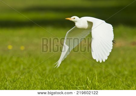 cattle egret flying very low across short green grass and coming into land