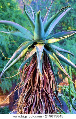 Aloe Vaombe Plant which is native to Madagascar taken in a Zen Garden