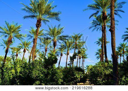 Date Palm Trees and Lemon Trees taken in a Zen Meditation Garden