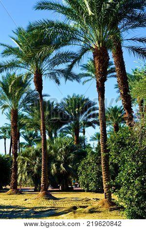 Date Palm Trees taken in a lush green desert garden oasis