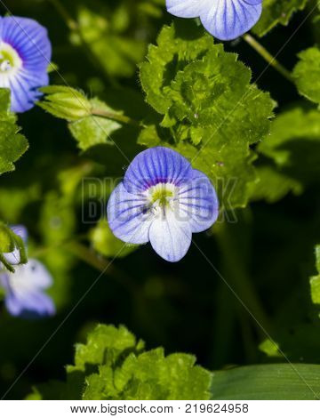 Blue flower Persian speedwell or Veronica persica on stem macro, selective focus, shallow DOF.