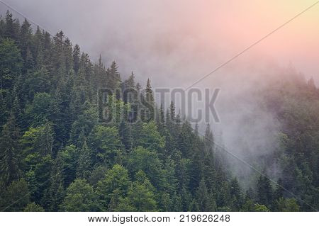 Forest mountain with the conifer trees in mist