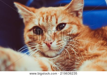 cute little red kitten is sitting on his hands. Kitten in the hands. Red-haired kitten. Soft tone photo. Ginger kitten.