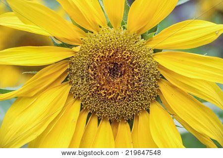 close up of stamen of yellow sunflower