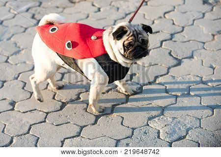 Dog or pugdog in red coat walk on pavement on sunny day outdoor. Pet fashion concept. Friend companion empathy poster