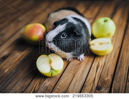Guinea Pig wants to try juicy fruit. Apples. on a wooden background. Feeding guinea pigs.