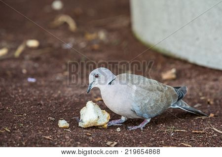 Eurasian Collared Dove, Streptopelia decaocto, eating white bread leftovers on the ground. Puerto Rico, Gran Canaria in Spain