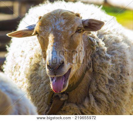 lamb. Farm animals lamb. The animal farm lamb. White lamb looking at the camera.