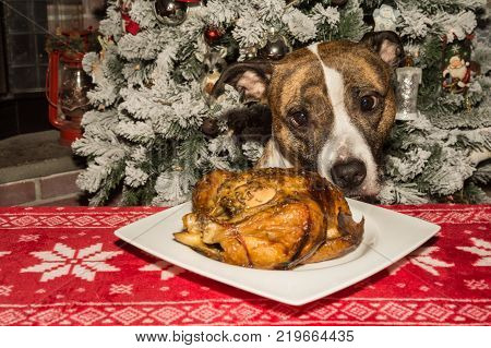 A cute dog begging for the holiday dinner.