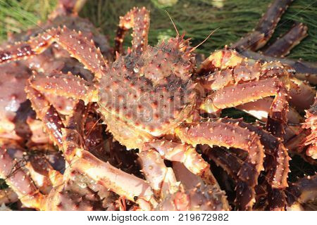 aLive king crab macro north in group