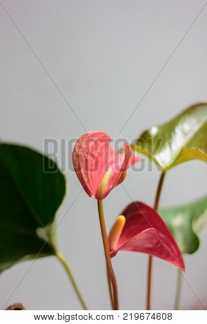 Beautiful Anthurium flower against a grey wall
